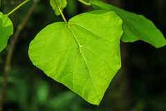 Chinese medicine tree Catalpa Stock Image