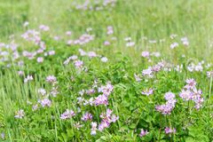 Chinese milk vetch Royalty Free Stock Photography
