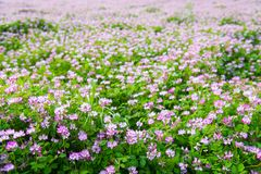Chinese milk vetch Royalty Free Stock Image