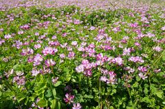 Chinese milk vetch Royalty Free Stock Images