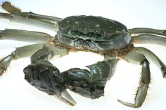 Chinese Mitten Crab Royalty Free Stock Image
