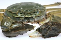 Chinese Mitten Crab Stock Photo