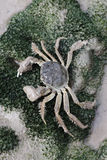 Chinese mitten crab, Eriocheir sinensis Royalty Free Stock Image