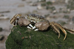 Chinese mitten crab, Eriocheir sinensis Royalty Free Stock Photos