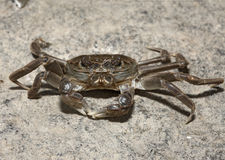 Chinese mitten crab, Eriocheir sinensis. River Thames, London, invading species stock images