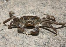 Chinese mitten crab, Eriocheir sinensis Stock Images