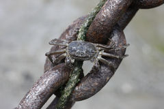 Chinese mitten crab, Eriocheir sinensis Royalty Free Stock Photography