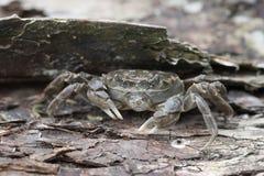 Chinese mitten crab, Eriocheir sinensis Stock Photography