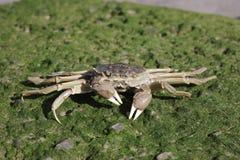 Chinese mitten crab, Eriocheir sinensis Stock Photo