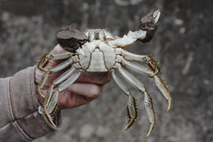 Chinese mitten crab, Eriocheir sinensis. Single crab in mans hand, River Thames stock image