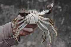 Chinese mitten crab, Eriocheir sinensis Stock Image