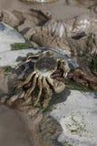 Chinese mitten crab, Eriocheir sinensis Royalty Free Stock Photo