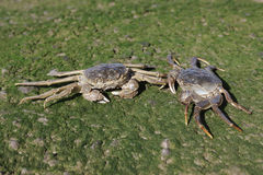 Chinese mitten crab, Eriocheir sinensis Royalty Free Stock Images
