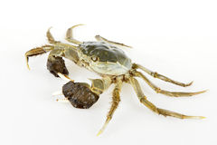 Chinese Mitten Crab. A mature Chinese Mitten Crab royalty free stock photography