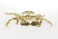 Chinese Mitten Crab Stock Photography