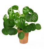 Chinese money plant or pancake plant, Pilea peperomioides, isolated over white. Background royalty free stock photos