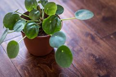 Chinese Money Plant Pilea Peperomiodes Royalty Free Stock Photo
