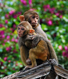 Chinese monkeys. Two cute Chinese monkeys from Monkey Island in Sanya, China royalty free stock images