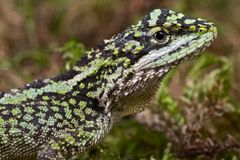 Chinese mountain agama Royalty Free Stock Image