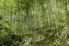 Chinese mountain forest. Bamboo forest in Sichuan province,China Royalty Free Stock Photo