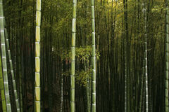 Chinese mountain forest. Bamboo forest in Sichuan province,China Royalty Free Stock Photography