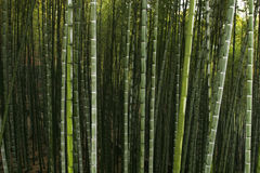 Chinese mountain forest. Bamboo forest in Sichuan province,China Royalty Free Stock Image