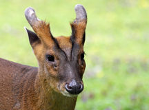 Chinese Muntjac 02 Stock Photos