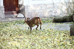 Chinese muntjac baby. Deer back Stock Photography