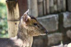Chinese muntjac. Deer profile in the zoo Stock Photo