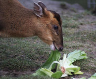 Chinese muntjac eating Stock Images