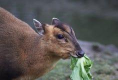 Chinese muntjac eating Stock Photo