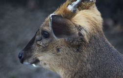 Chinese muntjac head Royalty Free Stock Image