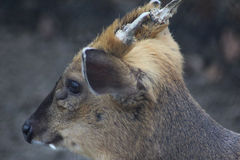 Chinese muntjac head Stock Image