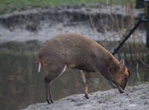 Chinese muntjac Royalty Free Stock Images