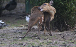 Chinese muntjac Royalty Free Stock Photography