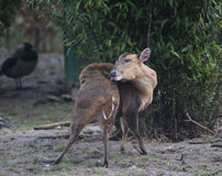 Chinese muntjac Stock Images