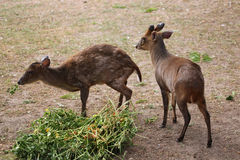 Chinese muntjac (Muntiacus reevesi), also known as the Reeves's Stock Image