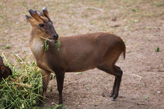 Chinese muntjac (Muntiacus reevesi), also known as the Reeves's Stock Photo