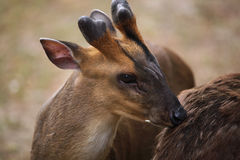 Chinese muntjac (Muntiacus reevesi), also known as the Reeves's Royalty Free Stock Photography