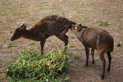 Chinese muntjac (Muntiacus reevesi), also known as the Reeves's Stock Photography