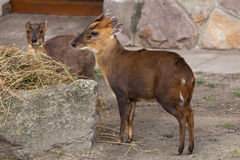 Chinese muntjac (Muntiacus reevesi), also known as the Reeves's Royalty Free Stock Image