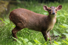 Chinese muntjac (Muntiacus reevesi). Stock Photography