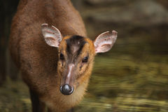 Chinese muntjac (Muntiacus reevesi). Royalty Free Stock Photography