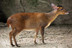 Chinese muntjac (Muntiacus reevesi). Royalty Free Stock Images