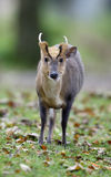 Chinese muntjac, Muntiacus reevesi. Male on graa, Wales Stock Photos
