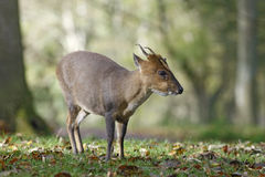 Chinese muntjac, Muntiacus reevesi. Male on grass, Wales Stock Photography