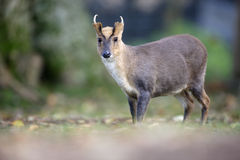 Chinese muntjac, Muntiacus reevesi. Male on grass, Wales Stock Images