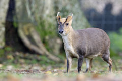 Chinese muntjac, Muntiacus reevesi. Male on grass, Wales Royalty Free Stock Photography