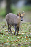 Chinese muntjac, Muntiacus reevesi. Male on grass, Wales Stock Image