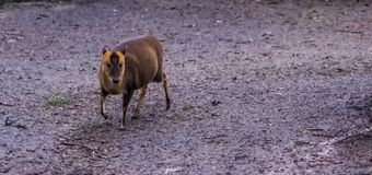 Chinese muntjac walking in the sand and looking, adorable animal from Asia royalty free stock photo